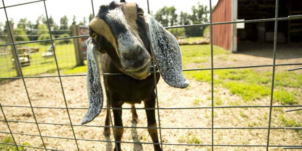 Summer farm dinner goat