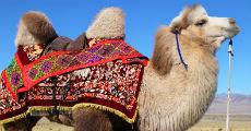 mongolian camel 230-x-120